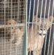 Week in Weird - Fake Lion is a Dog